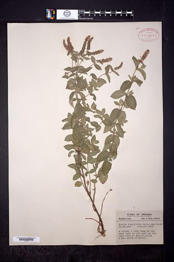 Mentha longifolia image
