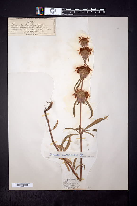 Monarda citriodora subsp. austromontana image