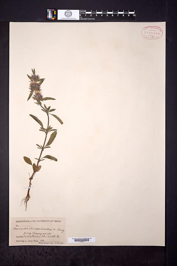 Monarda clinopodioides image