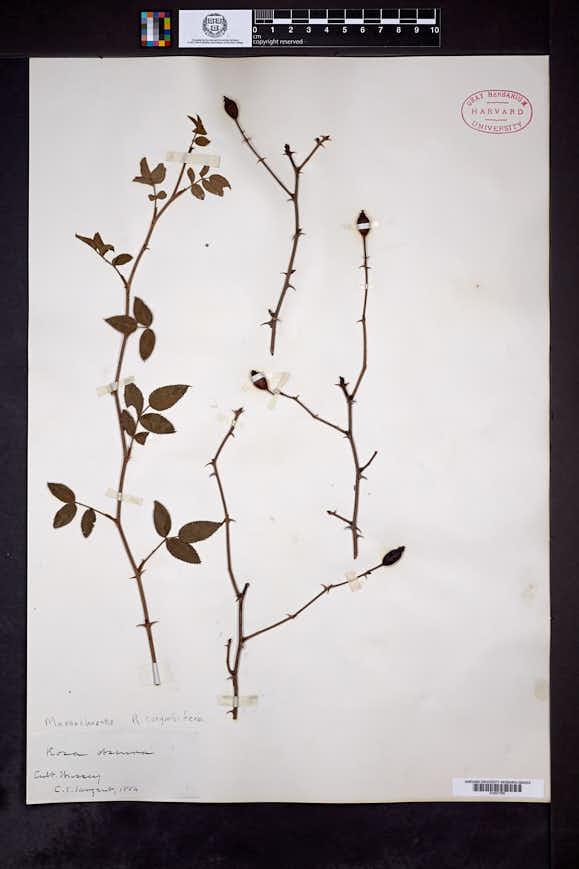 Rosa corymbifera image