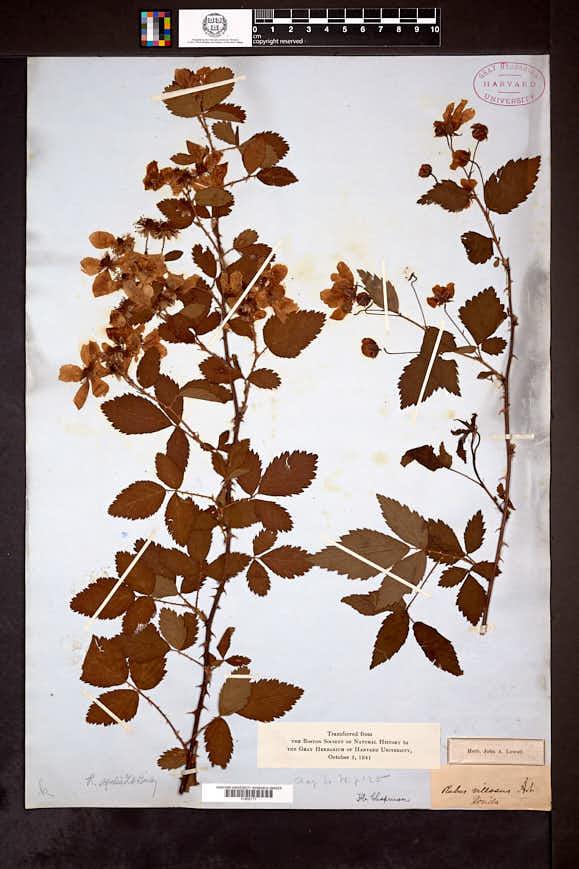 Image of Rubus agilis