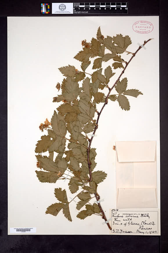 Rubus almus image