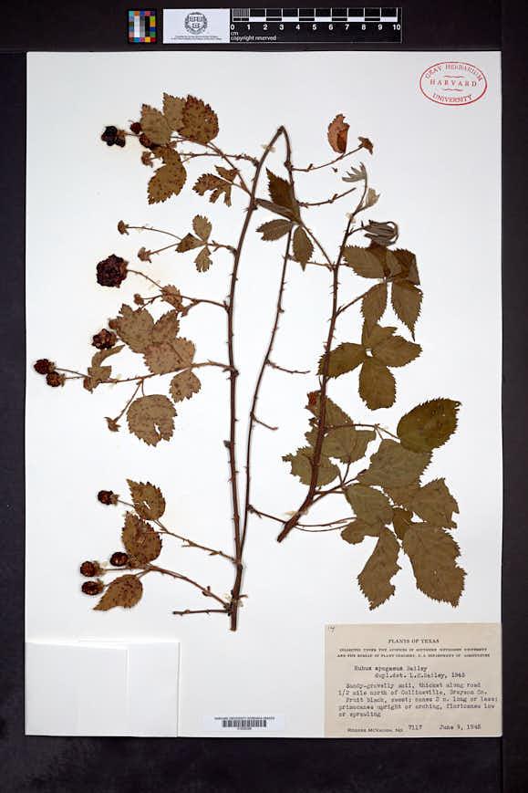 Image of Rubus apogaeus