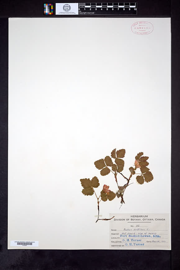 Rubus arcticus image