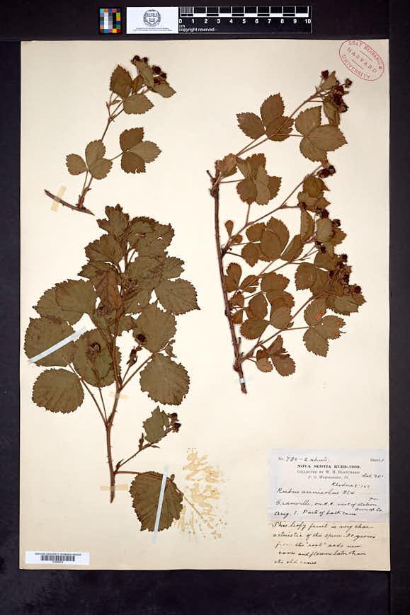 Rubus arenicola image