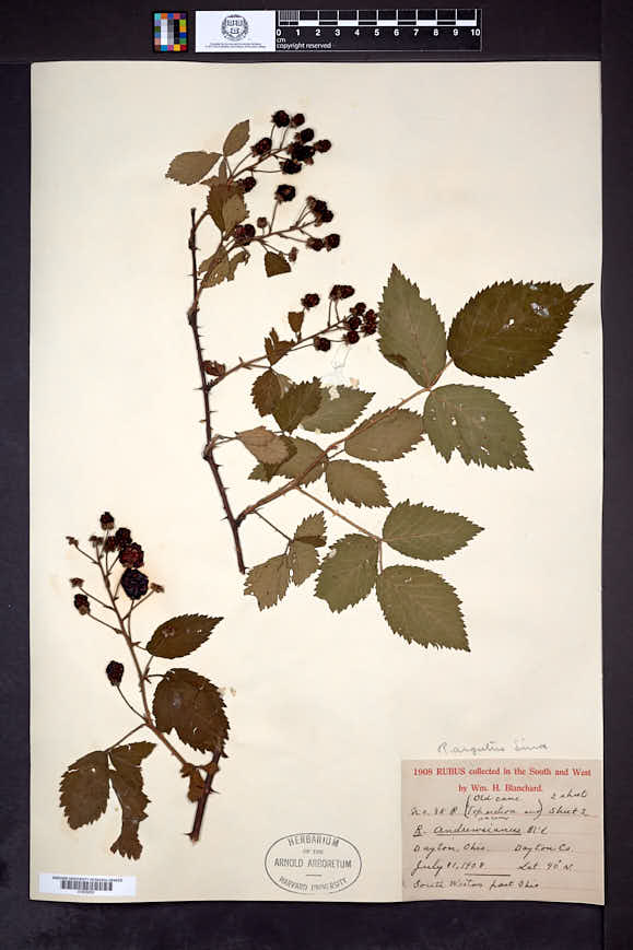 Rubus argutus image