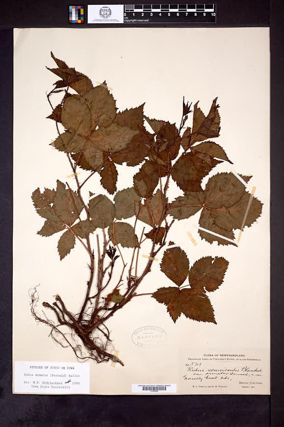 Image of Rubus armatus