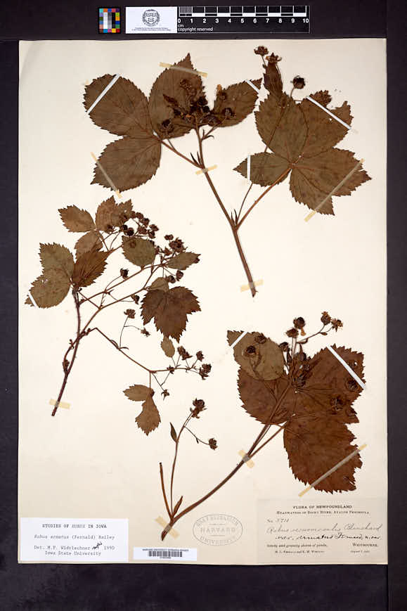 Rubus armatus image