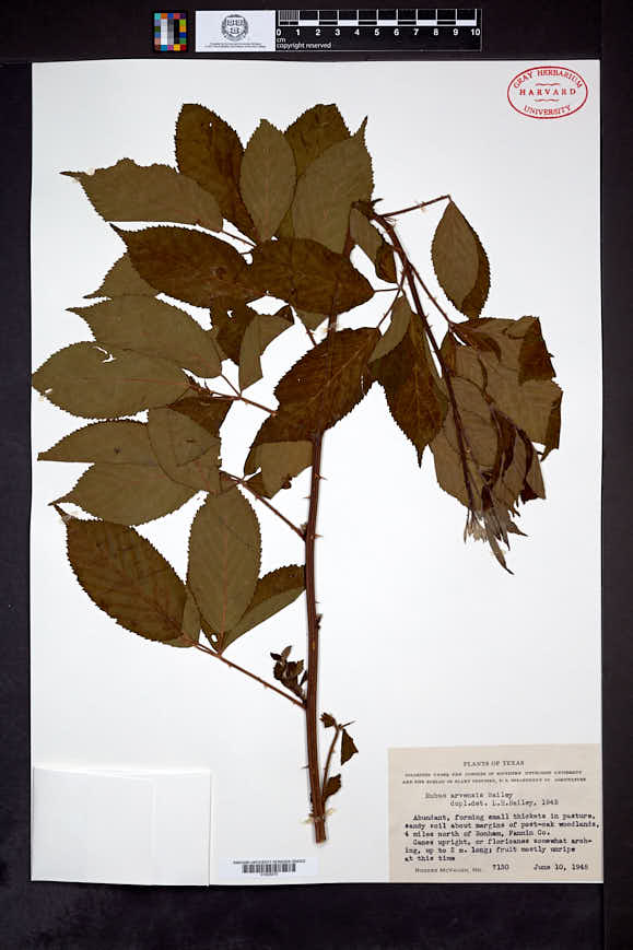 Image of Rubus arvensis