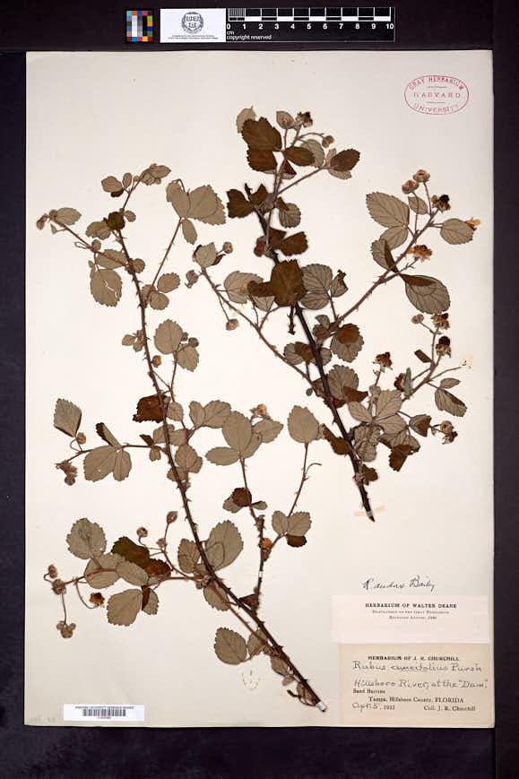 Image of Rubus audax
