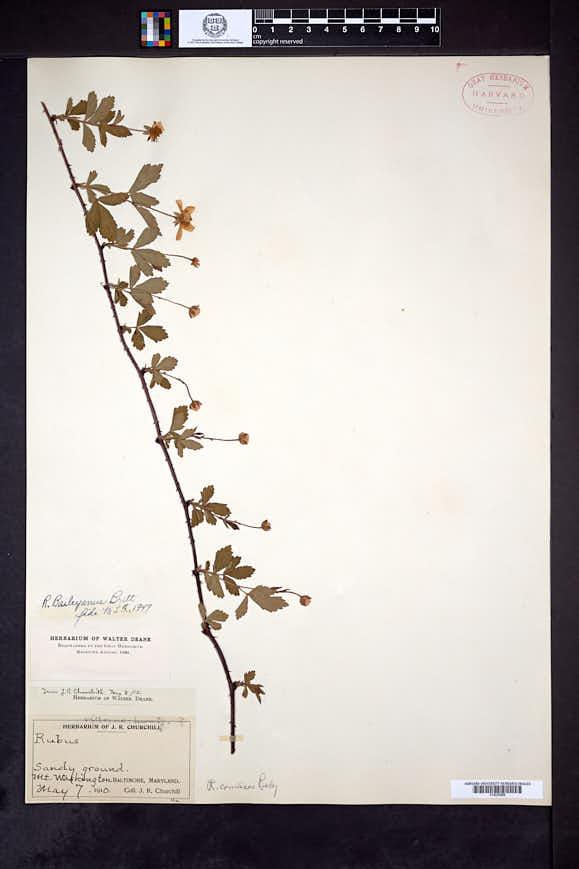 Rubus baileyanus image