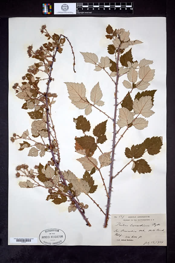 Image of Rubus bernardinus