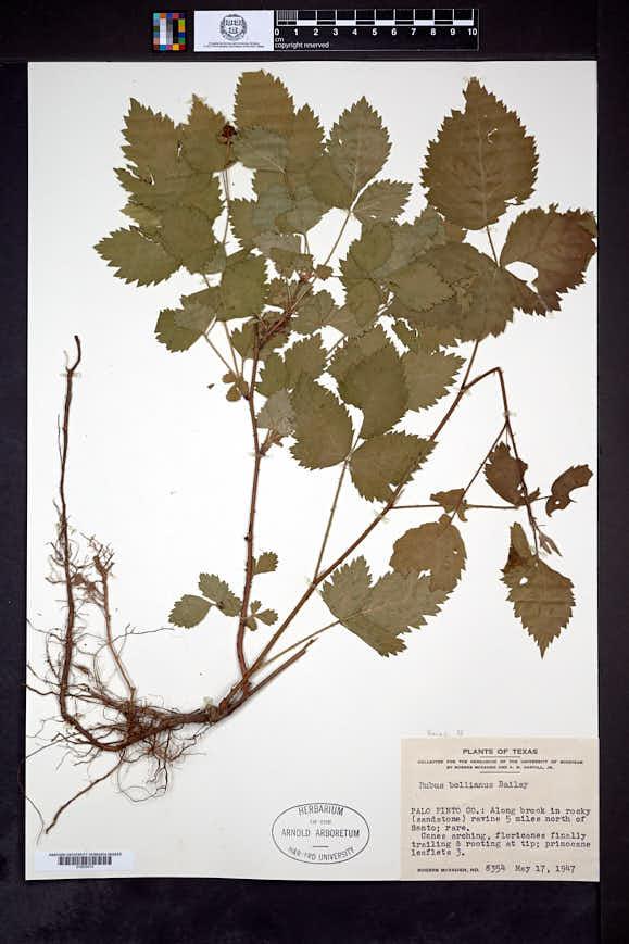 Rubus bollianus image