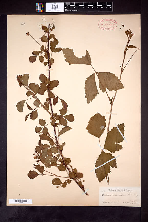 Rubus bonus image