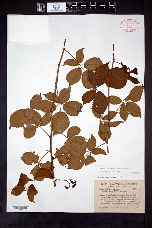 Image of Rubus canaanensis