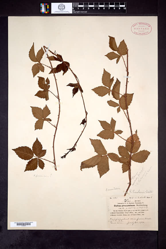 Rubus camurus image