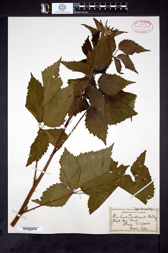 Image of Rubus cardianus