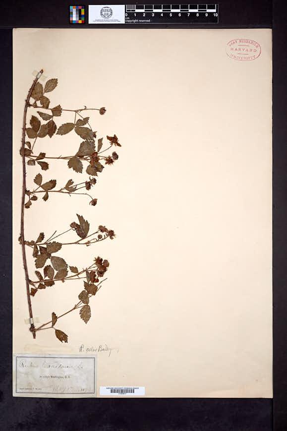 Image of Rubus celer