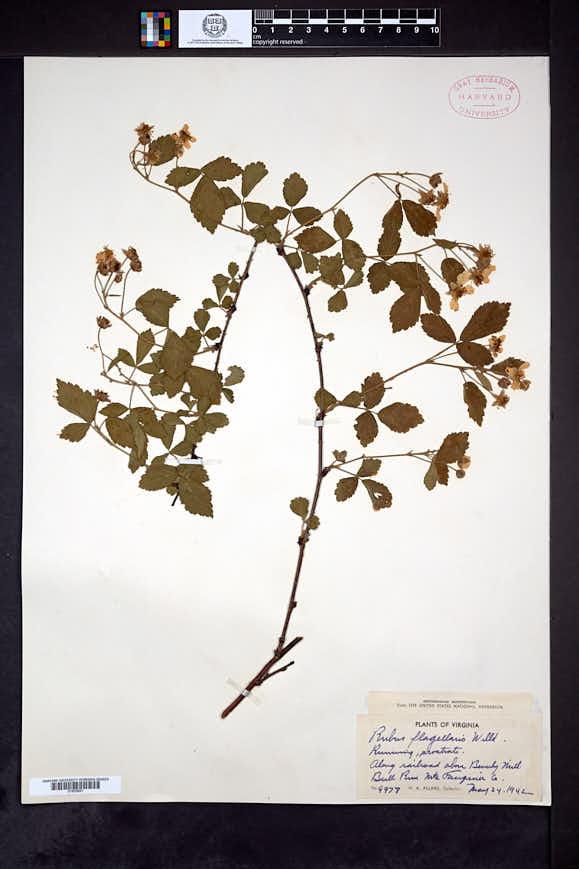 Rubus celer image