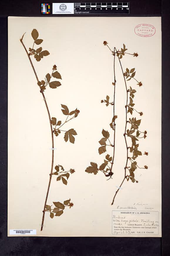 Image of Rubus census