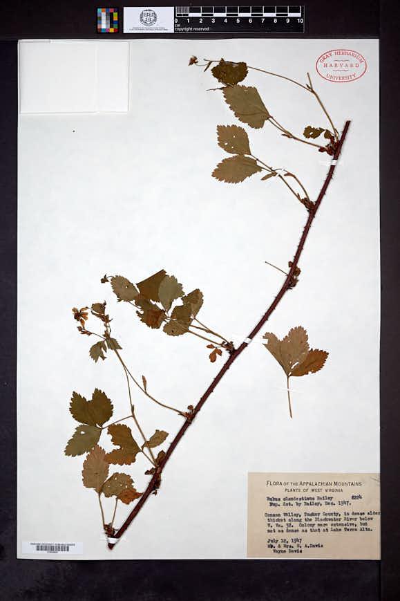 Rubus clandestinus image