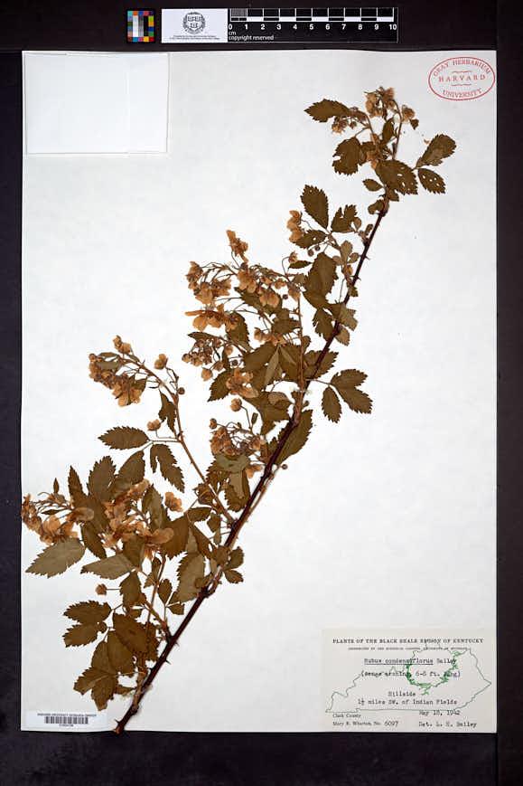 Image of Rubus condensiflorus