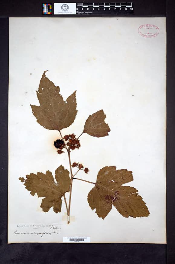 Rubus crataegifolius image