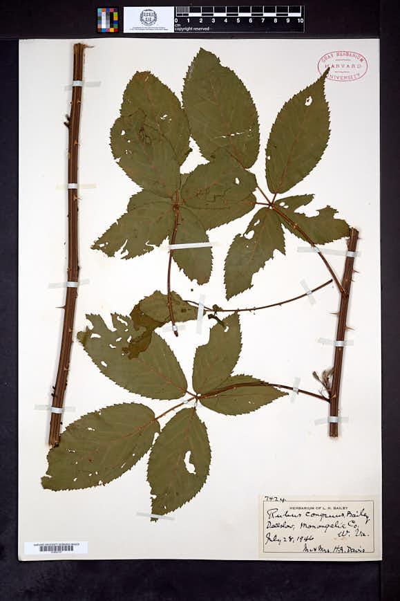 Rubus congruus image