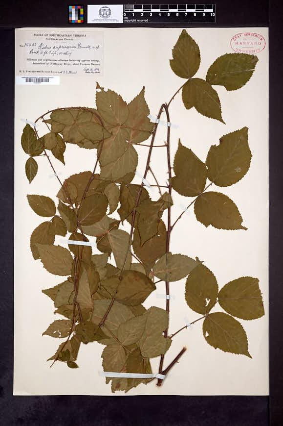 Rubus cupressorum image