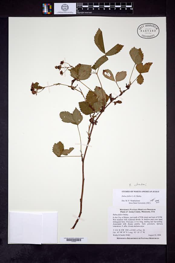 Rubus fulleri image