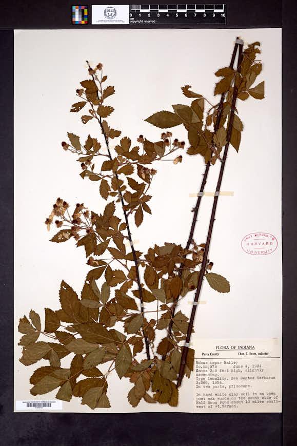 Image of Rubus impar