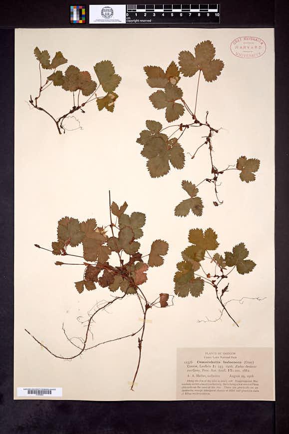Rubus lasiococcus image