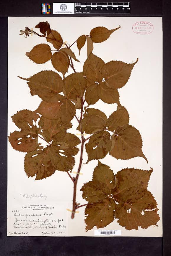 Rubus latifoliolus image