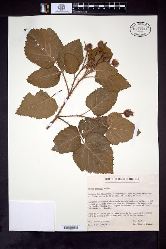 Rubus longii image