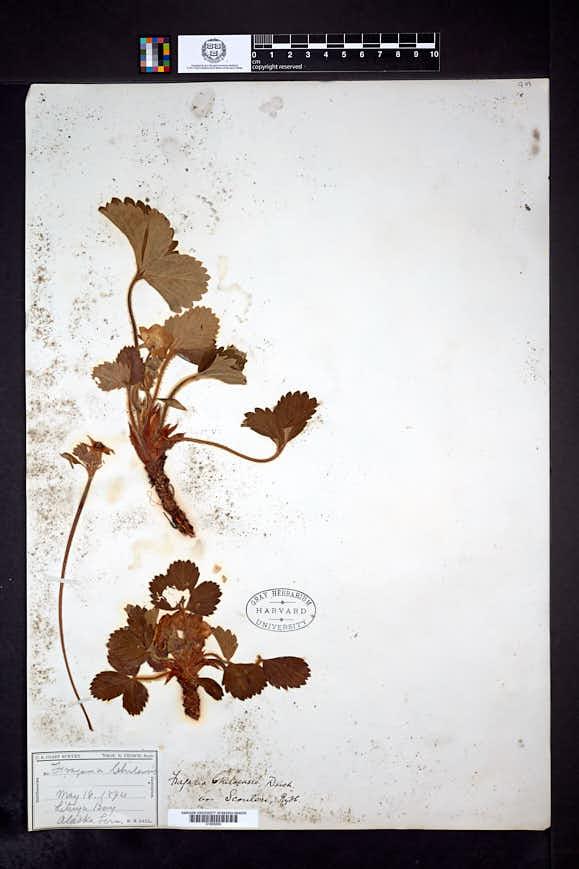 Fragaria chiloensis image