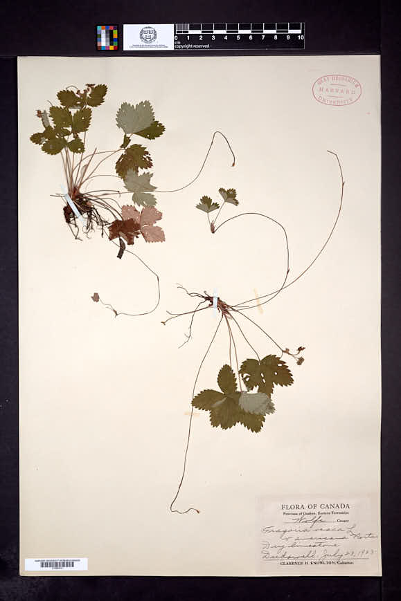 Fragaria vesca subsp. americana image