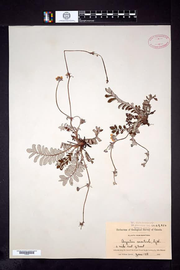 Image of Drymocallis ashlandica