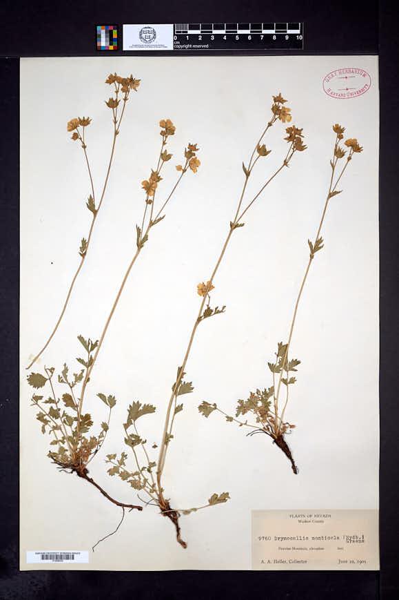 Drymocallis ashlandica image