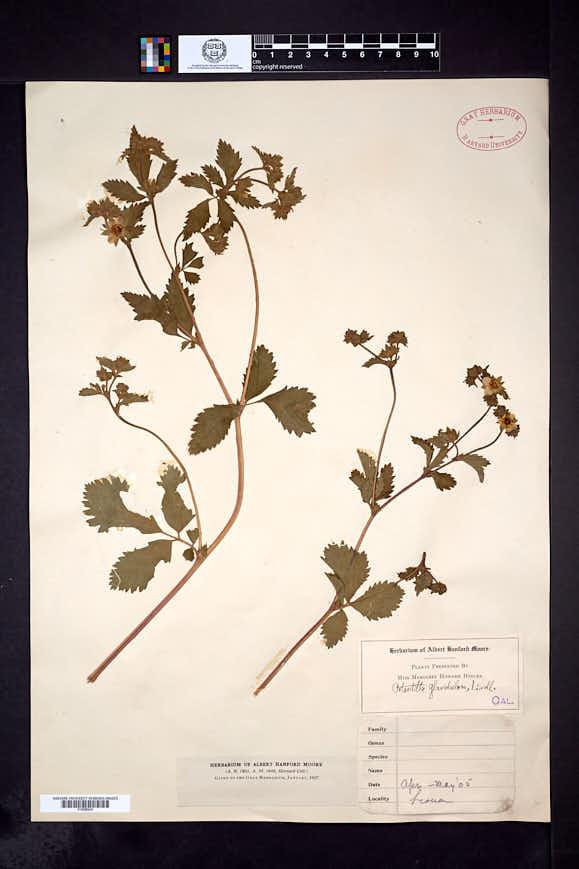 Drymocallis glandulosa image