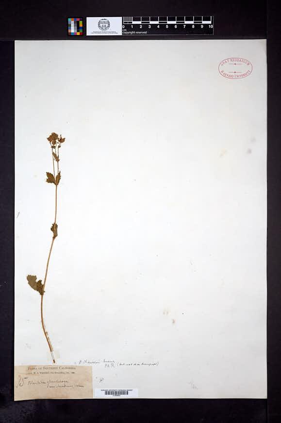 Drymocallis hansenii image