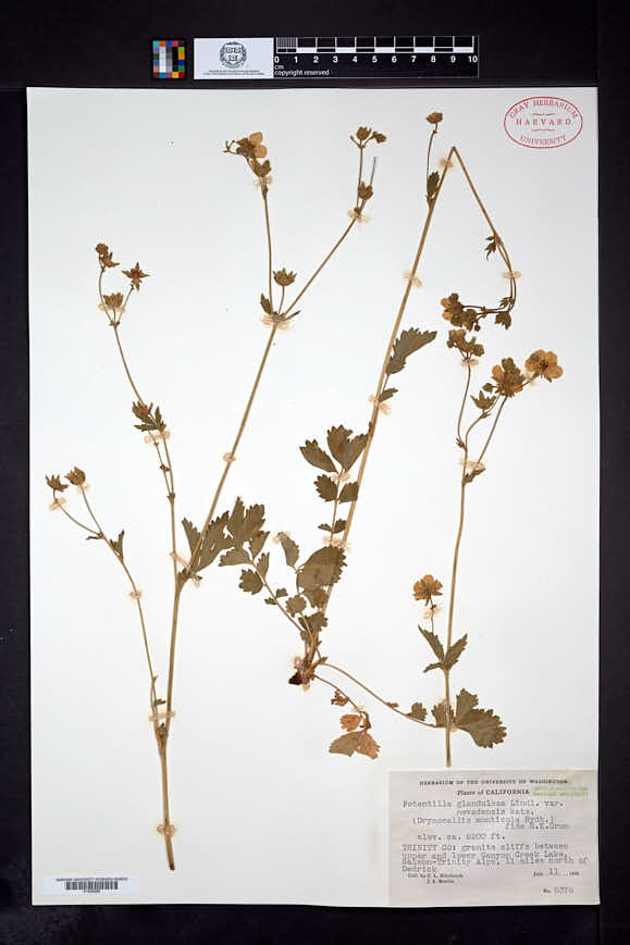 Drymocallis lactea image