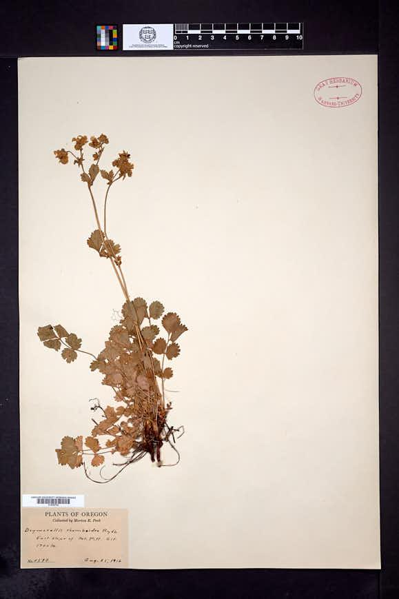 Drymocallis rhomboidea image