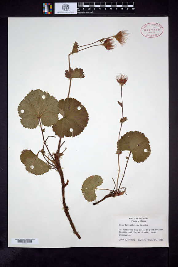 Geum calthifolium image