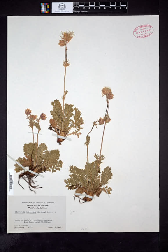 Image of Geum canescens
