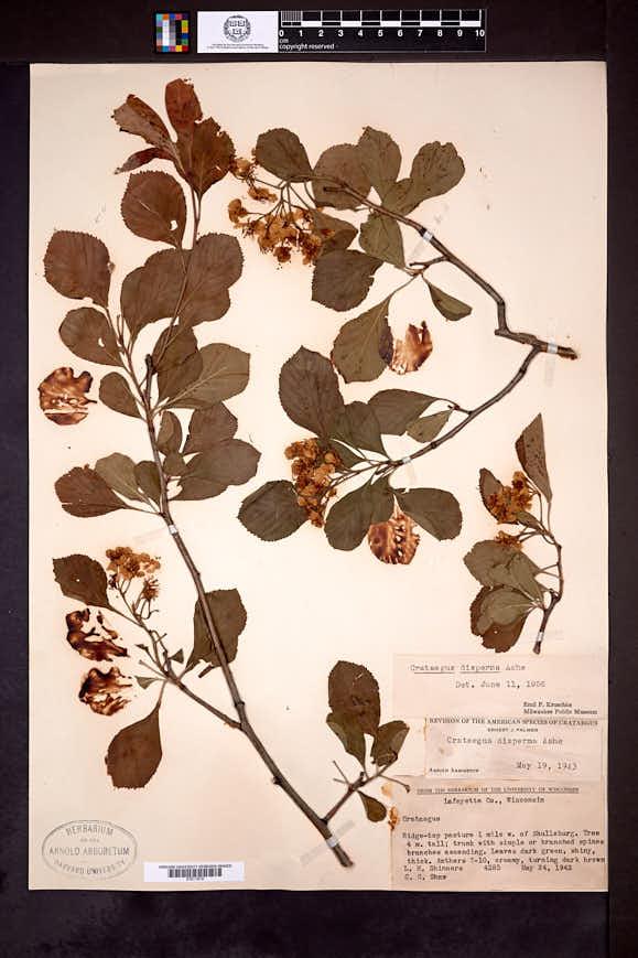 Crataegus × disperma image