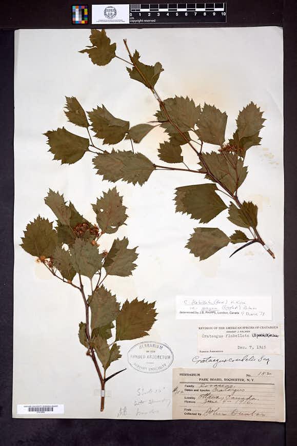 Crataegus flabellata image