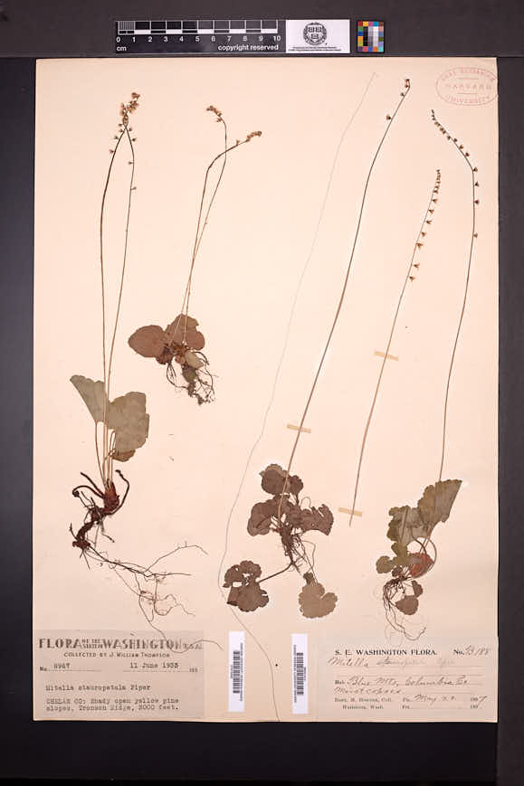 Mitella stauropetala image
