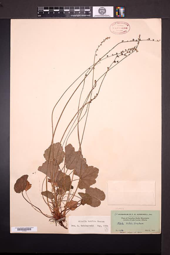 Mitella trifida image