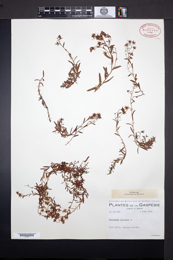 Saxifraga aizoides image