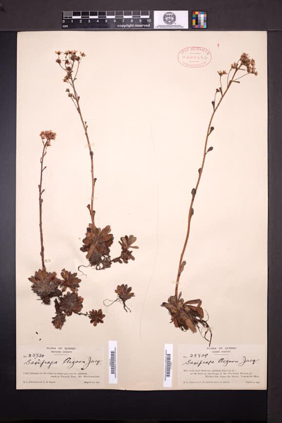 Saxifraga aizoon image
